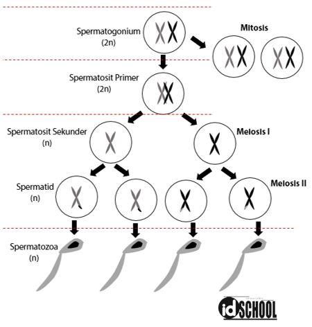 Soal Tahapan pada Spermatogenesis
