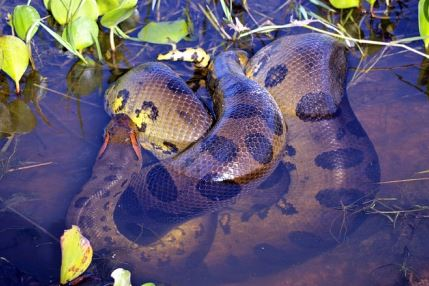 Anaconda Berkembang Biak Secara Ovovivipar