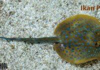 Contoh Hewan yang Berkembang Biak Secara Ovovivipar - Ikan Pari