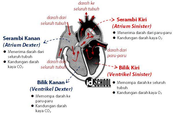 Bagian Ruang Jantung dan Fungsinya