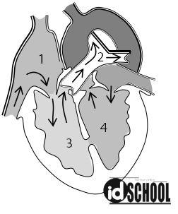 Soal Bagian Ruang Jantung dan Fungsinya
